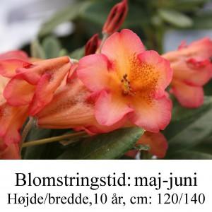 Böhmen, dicroanthum ssp scyphocalyx