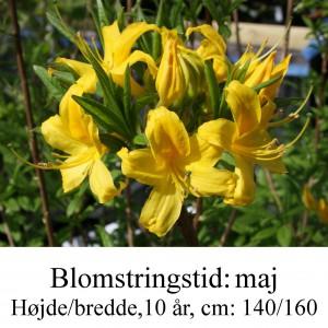 luteum rhododendron azalie