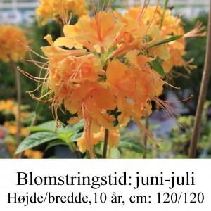 calendulaceum rhododendron azalie