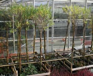 Salix højstammet kugletræ