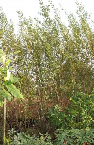 """Salix """"NDV"""" flettepil"""
