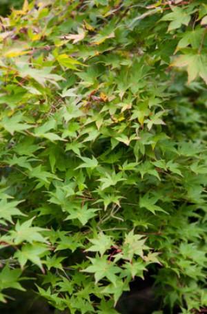 Acer pal. Aureum