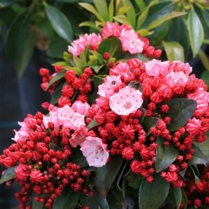 kalmia latifolia Little Linda
