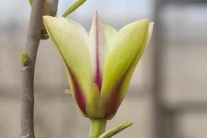 Magnolia concinna 'Sunrise'