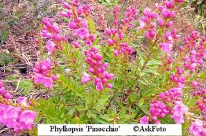 x phylliopsis Pinocchio