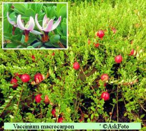 Vaccinium macrocarpon Big Pearl