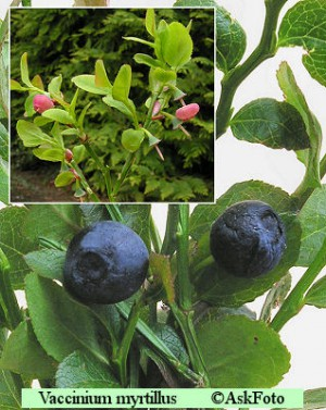 Vaccinium myrtillus blåbær
