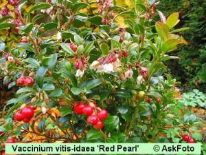 Vaccinium vitis-idaea Red Pearl Tyttebær