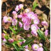Kalmia polifolia New Foundland