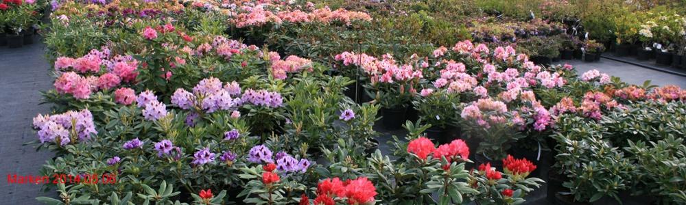 Rhododendron Planteskole i København, Sjælland – Bestil billige surbundsplanter her