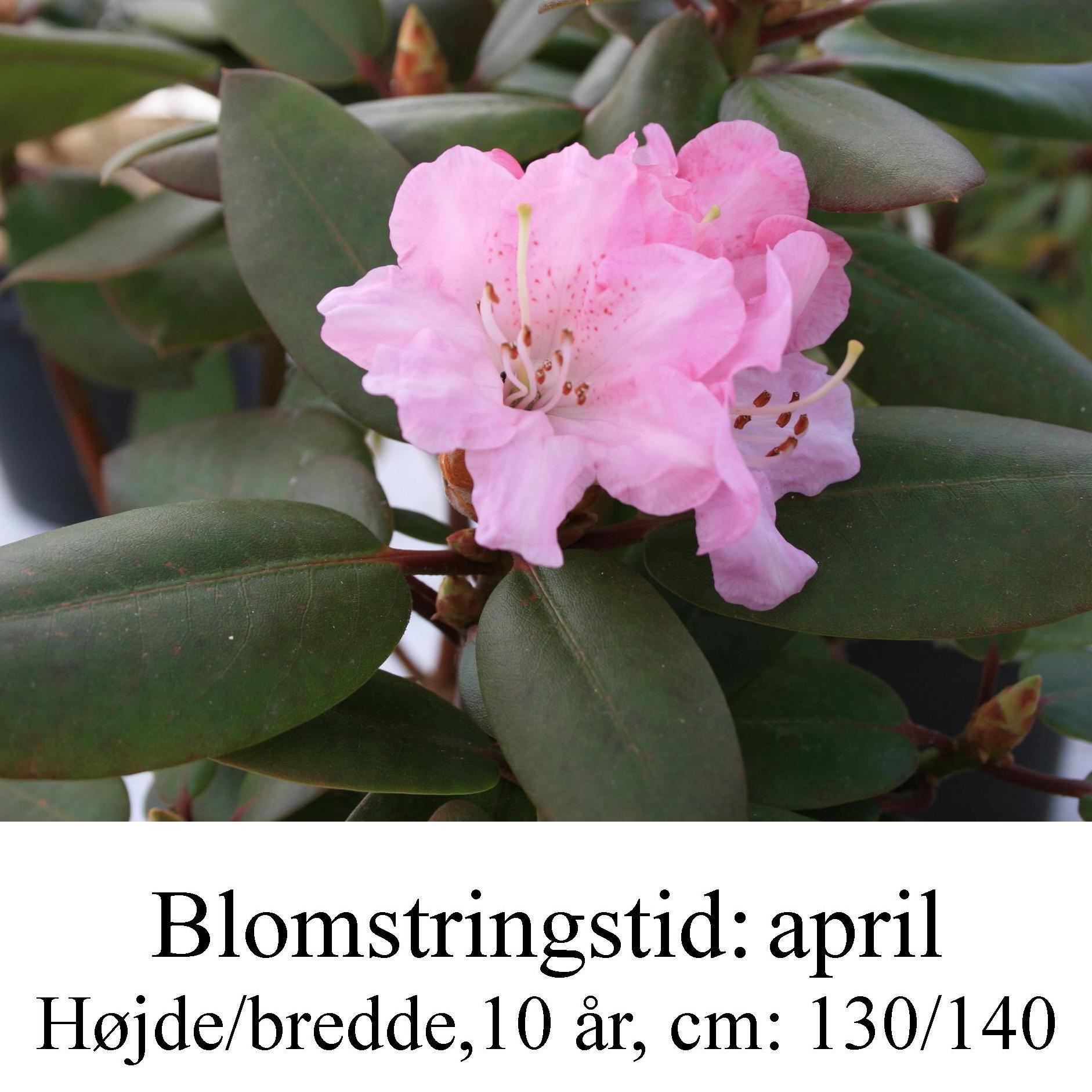 "Rhododendron  ""Winterpurpur"