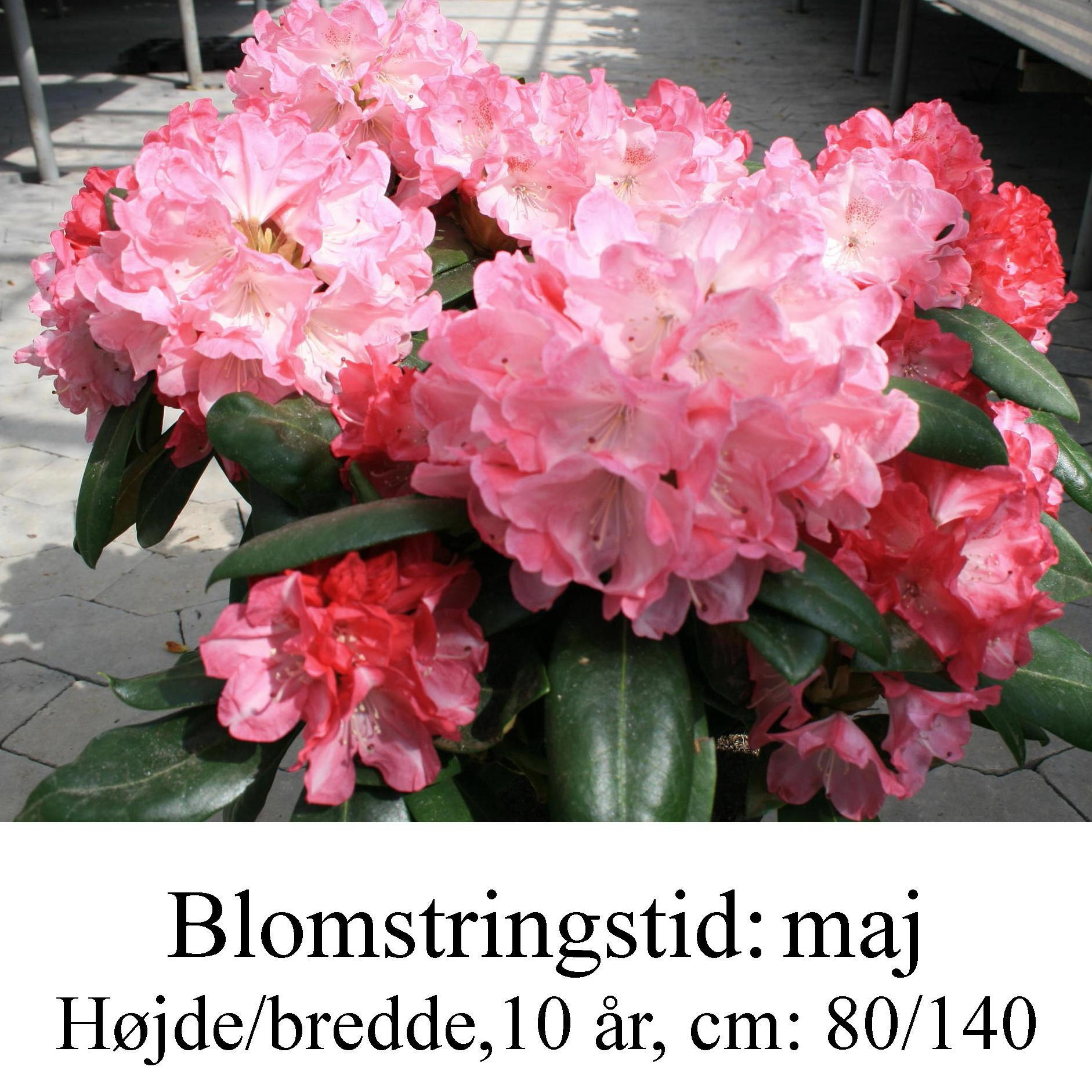 rhododendron Anuschka