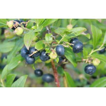 Vaccinium angustifolia Putte, amerikansk blåbær