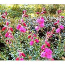 Daboecia cantabrica Rosela irsk lyng