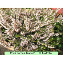 Erica carnea Isabell