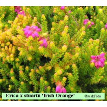 Erica x stuartii Irish Orange klokkelyng