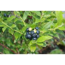 Plys, amrk blåbær