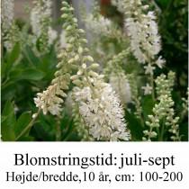 Clethra alnifolia konvalbusk