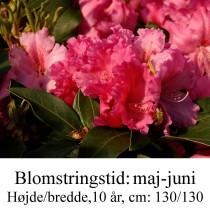 rhododendron Carusa