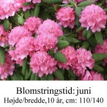 rhododendron Catharine van Tol