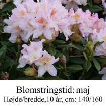 rhododendron Cunningham's Blush