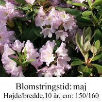 rhododendron Dufthecke, lilla