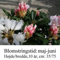 rhododendron Schneekissen yakushimanum