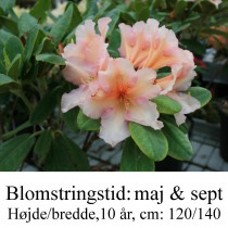 """Rhododendron """"Norfolk Candy"""