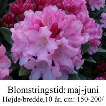 """Rhododendron """"Pink Cherub"""