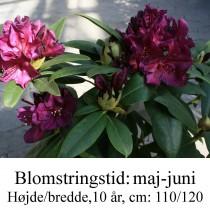 "Rhododendron  ""Polarnacht"