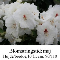 """Rhododendron  """"Schneespiegel"""