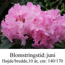 rhododendron Anastasia