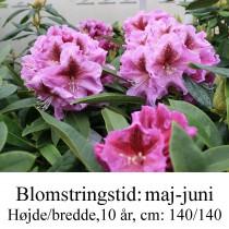 "Rhododendron  ""Violette Funken"