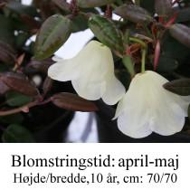 rhododendron williamsianum album