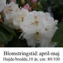 """Rhododendron  """"Gartendirektor Rieger"""