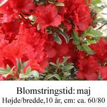 rhododendron Hot Shot Variagated