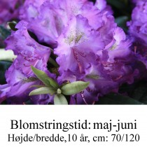rhododendron Bohlken's Lupinenberg