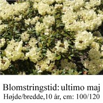 rhododendron Bohlken's Juditha