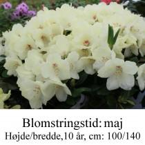 rhododendron Flava