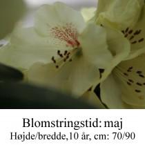 rhododendron Goldprinz