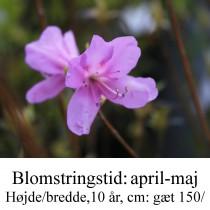 reticulatum rhododendron azalie