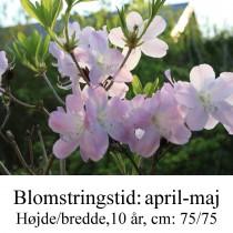 schlippenbachi rhododendron azalie