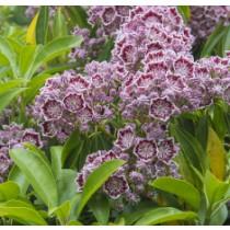 kalmia latifolia Caroussel