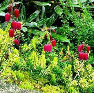 Daboecia cantabrica Angelina irsk lyng