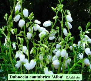 Daboecia cantabrica Alba irsk lyng