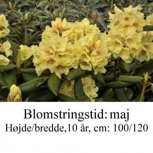 rhododendron Bohlken's Laura