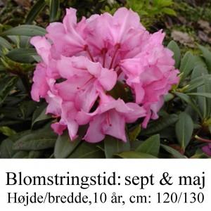 rhododendron Herbstzauber